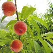 Фрукты персики